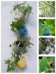 Coffee cup gardening ( herbs)