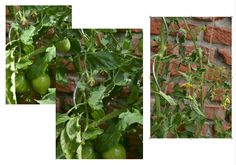 Problems with oxblood tomatoes Probleme mit den Ochsenherz Tomaten Edible Garden, Oxblood, Stuffed Peppers, Vegetables, Tomatoes, Stuffed Pepper, Vegetable Gardening, Veggie Food, Vegetable Garden