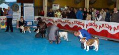 Monográfica B del Bulldog Inglés. #Talavera #Exposicion #Canina #Bulldog #Monografica