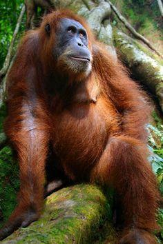 Her Majesty's Throne   This image of a Sumatran Orangutan was taken in Gunung Leuser National Park, North Sumatra, Indonesia.   © George Frandsen