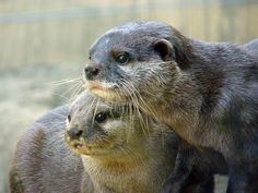 OTTERS!!! Ottersottersotters! =D