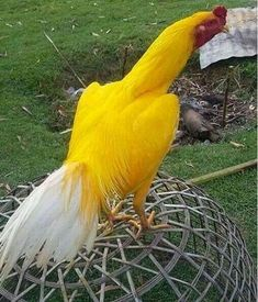 Wow Yellow Rooster Looks like a Jungle Fowl Fancy Chickens, Chickens And Roosters, Chickens Backyard, Bantam Chickens, Pretty Birds, Beautiful Birds, Animals Beautiful, Exotic Birds, Colorful Birds