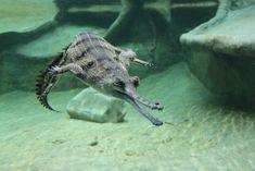 Gharial, gavialis-gangeticus-