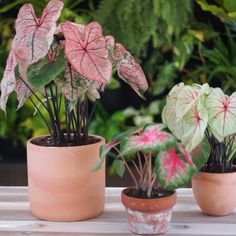 Caladiums have some of the coolest leaf patterns! These plants like their soil to be moist and they can grow in the sun or shade, depending on the variety. Potted Plants For Shade, Best Plants For Shade, Indoor Plants, Pots For Plants, Shade Garden Plants, Orchids Garden, Cactus Plants, Colorful Plants, Tropical Plants