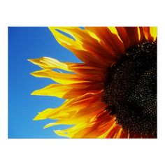 Sunflower Aflame Poster - Bright yellow and orange petals flicker outward like flames from the dark center of a sunflower against a bright blue sky. Vividly colorful sunflower photography taken summer 2012 in Corralitos, CA.