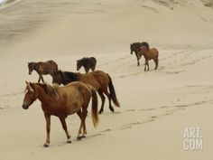 A Group of Wild Horses in the Dunes of Sable Island Photographic Print at Art.com
