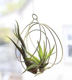 Support your favorite air plant with this artful hoop ornament, crafted in brass. Concentric coils of wire are collected into an organic shape and suspended from a top loop, creating a nest to hold greens aloft. They're designed with tillandsia in mind, which require minimal water and no soil to thrive. And, along with the ornament, you'll receive one of your very own to take care of.