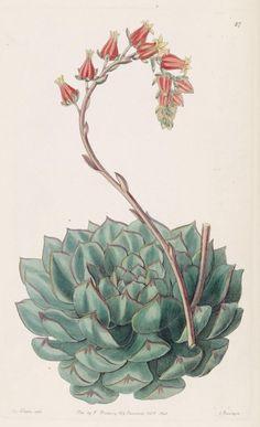 Image result for succulent botanical illustrations