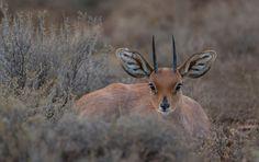 Steenbok at rest