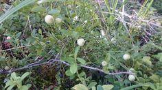 Valoinen mustikka / white blueberry (photo, Matti Hirvonen)
