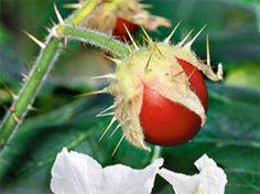 Melonenbirne, Pflaumikose, Ananas-Erdbeere - das sind ja schon komische Kreuzungen. Aber haben Sie schon mal von der Litschi-Tomate gehört? Hier erfahren Sie Genaueres über diese Pflanze.    Die attraktiv in weiß, teilweise auch zart fliederfarbend blühende Litschi-Tomate stammt ursprünglich aus Mittelamerika und ist immer häufiger auch bei uns im gut sortierten Gartenfachhandel zu finden. ...