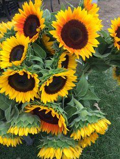 sunflower sunday!