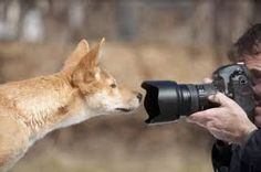 dingo에 대한 이미지 검색결과