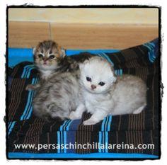 Gatitos-Persa-Chinchilla-Disponibles.jpg (498×493)