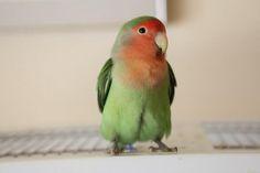 Peach-faced lovebird like my baby