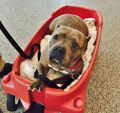 Hitch up YOUR wagon and set up a time to come get this gorgeous girl named Hoagie at the MSPCA in Boston by calling (617) 522-5055!