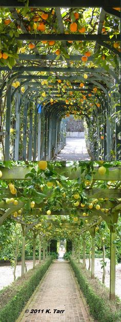 Citrus arbors - lemon, orange, or both! if only I lived in the right zone!