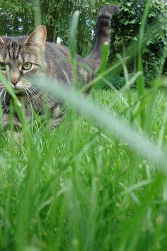 Abbey - cyperse kat