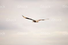chimango on cloudy sky royalty-free stock photo