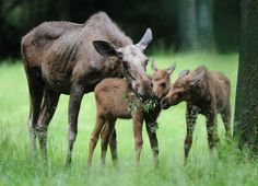 Munich Zoo Hellabrunn Welcomes Three Moose Calves