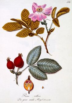 Rosa villosa, illustration from a book of German wild flowers by Johann Daniel von Reitter, published c.1803-5