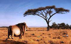Fotrest King Lion Funny Wallpaper - New HD Wallpapers