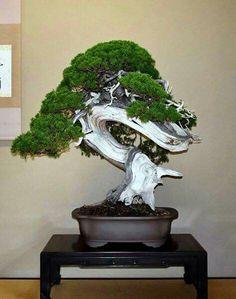 Bonsai Garden, Bonsai Trees, Plantas Bonsai, Juniper Bonsai, Plants, Gardening, Nature, Miniatures, Bonsai
