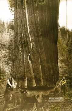 Monster Redwood at Arcata (two men use a misery whip saw). Humboldt State University Library