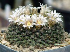 Mammillaria hemisphaerica RS100, Huasteca Cañon, inner