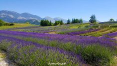 Vineyard, Flowers, Travel, Outdoor, Provence, Outdoors, Vine Yard, Floral, Viajes