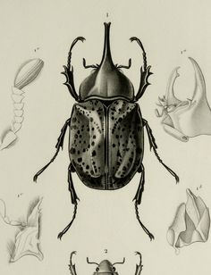 1849 Antique BEETLE print. BEETLES different species. Insects. Entomology. 165 years old lithograph