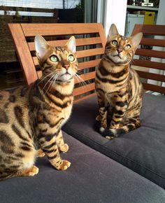 Lemmy Katze | Pawshake