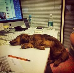 We went to work this week too. We have a dog office. --Looks like someone had a long day at the office. - photo via Crusoe the Celebrity Dachshund fb page Love My Dog, Puppy Love, Funny Dogs, Funny Animals, Cute Animals, Cute Puppies, Cute Dogs, Weenie Dogs, Doggies