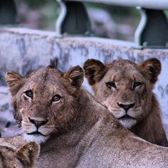 South Africa, Lion, Animals, Leo, Animales, Animaux, Lions, Animal, Animais