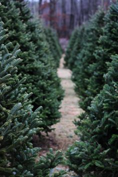 l-supreme:    evergreen (by Anna-Bee*)    Christmas tree farms seem so fun. Maybe i'm wrong….