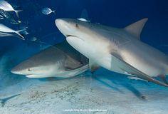 Bull Shark | Bull Shark Pictures - Images of Carcharhinus leucas the bull or ...