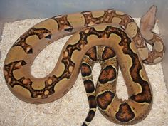 Fusion Boa Constrictor - MARC NORRIE