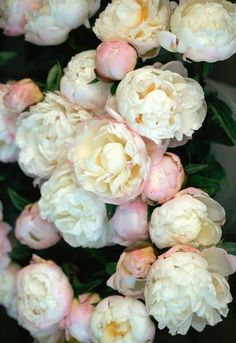 love peonies . . . wish they weren't always filled with ants and earwigs when you bring them inside.