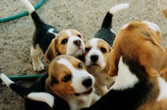 beagles look at those tails!