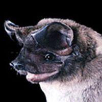 Cute Animal in Danger: Bonneted Bat Cute Endangered Animals, Endangered Species, Cute Animals, All About Bats, Hawaiian Plants, Little Babies, Conservation, Mammals, Habitats