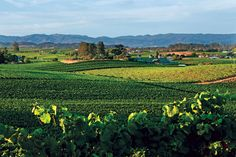 Bouchaine Vineyards - Bouchaine Vineyards has a total of 120 acres planted almost evenly to Chardonnay and Pinot Noir.