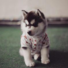 http://www.boredpanda.com/siberian-husky-dogs-dressed-as-humans-erica-tcogoeva/