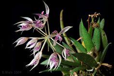 Miniature-Orchid: Macroclinium manabinum