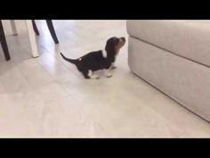 Arme pup. #Basset wil erg graag op de bank, maar #faalt hopeloos