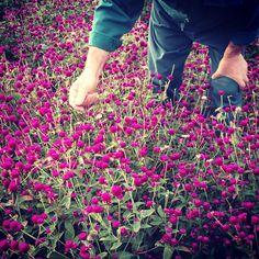 a Estufa de Vilar — @a_estufa_de_vilar #gomphrenaglobosa #picking