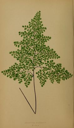 Adiantum cuneatum - Plate V (E. J. Lowe: Ferns: British and exotic Vol III London Goombridge and sons 1867)  http://www.archive.org/download/fernsbritishexot03lowe/page/n10_w358