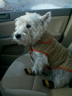 Mr Flynn by New England Westie Rescue Network