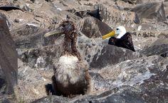 Com 2,35 metros de envergadura, o albatroz-de-Galápagos é a maior ave encontrada no arquipélago. Na Ilha de Española, entre o final de março e o começo de dezembro, os casais se reúnem para terem seus filhotes. Pescam em alto-mar e podem cair no espinhel (longa linha contendo vários anzóis) de pescadores, o que faz com que a população da espécie venha diminuindo: http://abr.io/4g3r