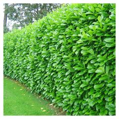 Laurel Hedge Prunus Laurocerasus. Possibly the perfect plant for my windbreak needs. Will grow in full shade in free-draining soil, tolerates wind. Can be pruned back at any time, even to the ground. Grows quickly. Has flowers. Berries are not edible.