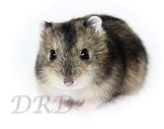 russische dwerghamster #dwerghamster #russischedwerghamster #hamster